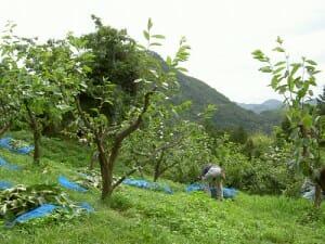 柿の葉収穫