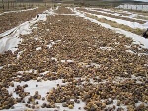 マカの収穫風景