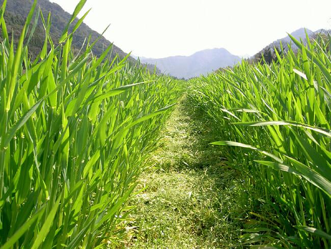 oomugi_farm_01