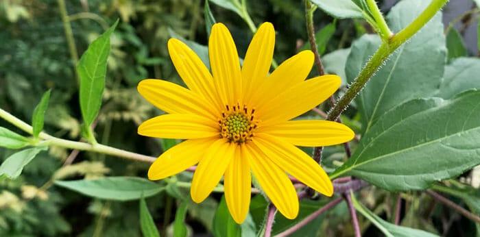 菊芋は菊の一種。とてもきれいな花が咲きます