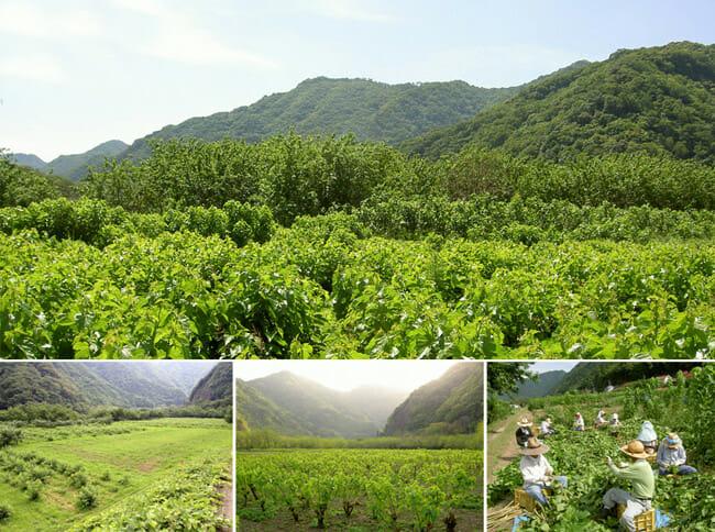 島根県桜江町の肥沃な大地で有機栽培で収穫する野菜