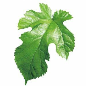 有機認定畑でオーガニック栽培された「有機桑の葉」