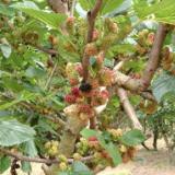 【今週の桑畑】桑の実が色づいてきました!