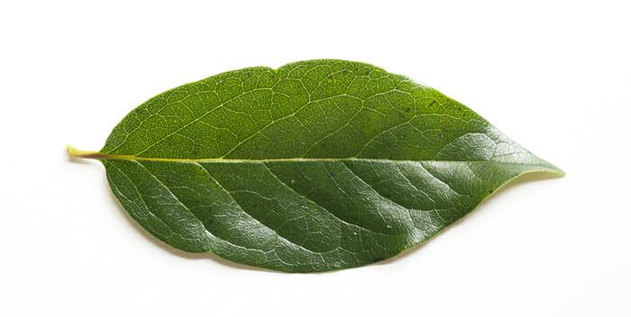 柿の葉茶 | 【公式】島根の有機 桜江町(さくらえちょう)桑茶生産組合