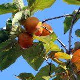 柿の葉茶の効果・効能!レモン20倍のビタミンCが含まれる健康茶